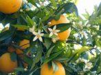 AL WADI narancsvirág víz 300 ml